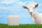 Kozie mlieko, kozí syr