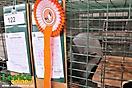 Oblastná výstava králikov, 23.-24.3.2013, Levice